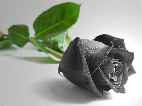 wallpaper hd black rose black rose wallpapers hd pictures one hd wallpaper