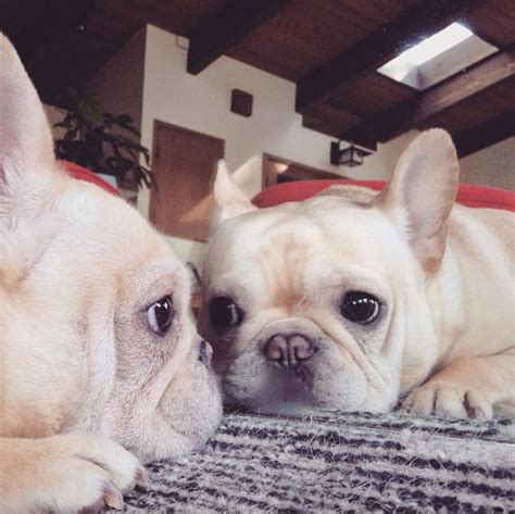 the narcoleptic milo the narcoleptic frenchie is the definition of awww barnorama