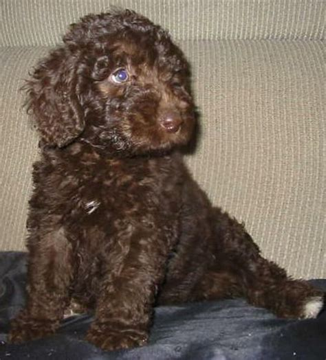 mini labradoodles ontario 25 best ideas about chocolate labradoodle on