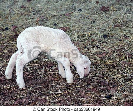 stock photo of young newborn lamb walking with difficulty