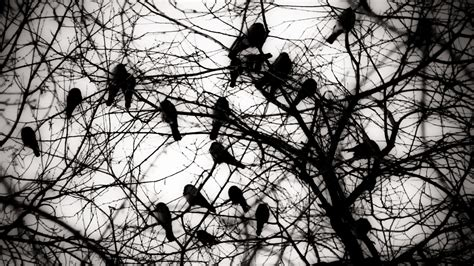 A Murder Of Crows a murder of crows when roosting crows come to town cool
