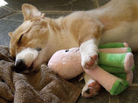 corgi puppy sleeping pembroke corgi my rocks