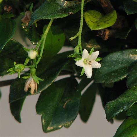 bonsai fiori bianchi bonsai carmona bonsai realizzare un bonsai di carmona
