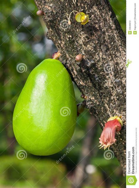 tree with gourd like fruit calabash tree stock photography image 33049972