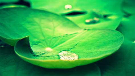 Lotus Leaf Original 30pcs lotus leaves wallpaper 7009415