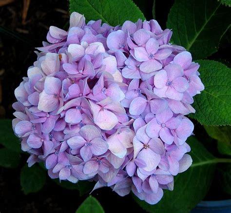 light purple flowers image flowers in bloom green hydrangea wedding flower in light purple color jpg