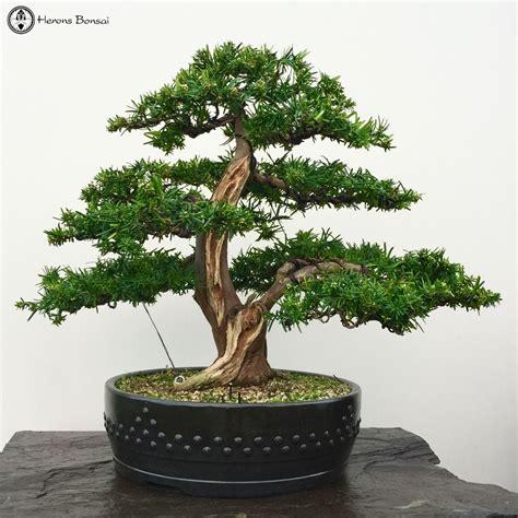 herons bonsai japanese yew bonsai tree herons bonsai