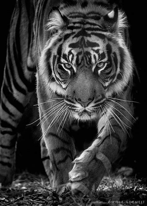 ~~born to be wild ~ b&w of a fierce tiger! by Wolf Ademeit
