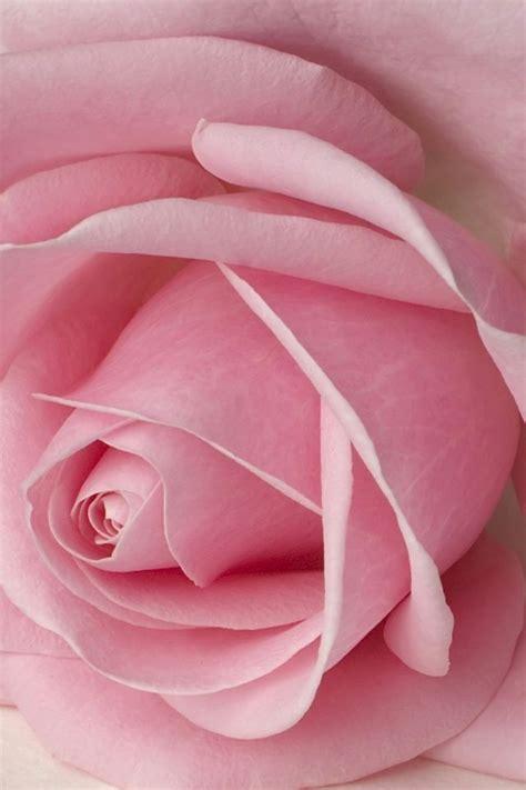 wallpaper iphone pink soft pink and black iphone wallpaper pink rose petals iphone