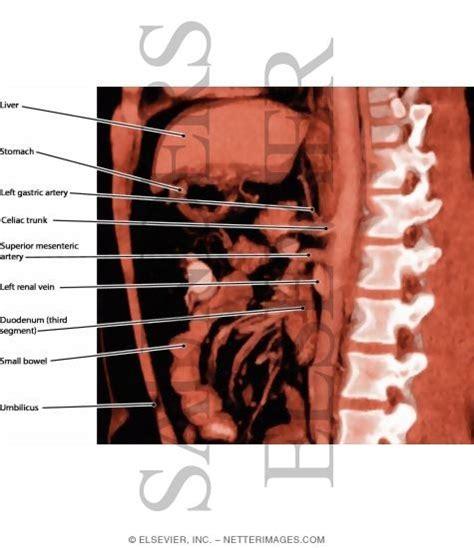 parasagittal section abdominal viscera parasagittal section