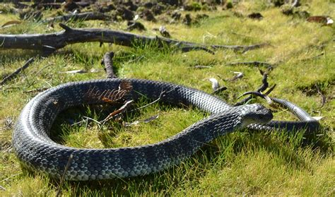 wildlife of the world tiger snakes facts and images
