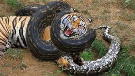 wild animals fighting  animal attacks  death