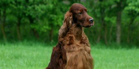 irish setter dies dog show chion irish setter dies from poisoned meat at crufts