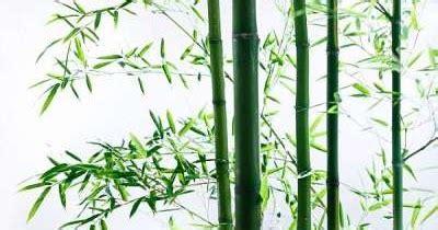 Lu Hias Untuk Pohon manfaat pohon bambu untuk kesehatan yang ku suka