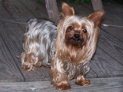 yorkie with 6 things you need to before you get a yorkie