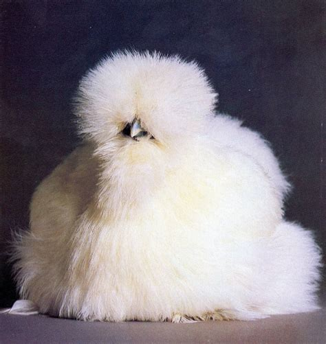 silky white white silkie bantam chickens for sale cackle hatchery