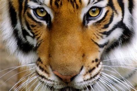 tijgers national geographic junior nederland/belgië