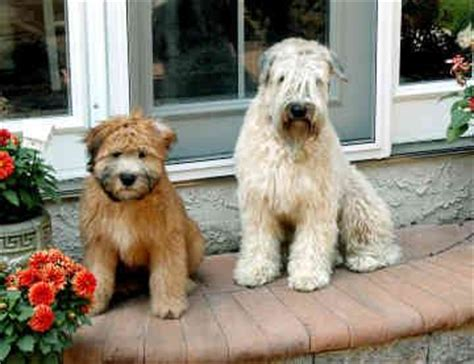 soft coated wheaten terrier puppies for sale 17 best images about soft coated wheaten terriers on read more salsa and