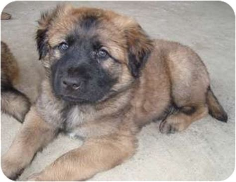 leonberger puppies for adoption american eskimo puppy pictures information breeds picture