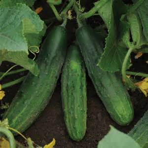 cucumber patio snacker f1 plants d t brown vegetable plants