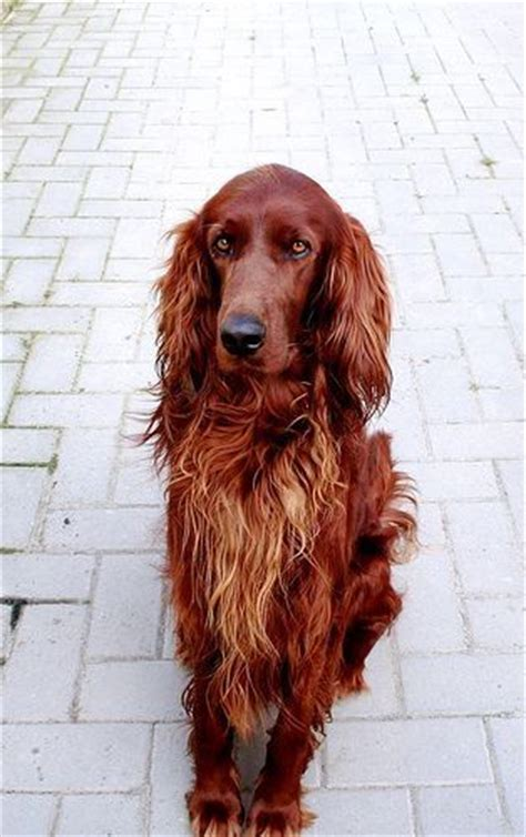 red setter dog temperament beautiful irish setter dogs and i want on pinterest