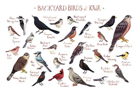 iowa backyard birds field guide art print watercolor
