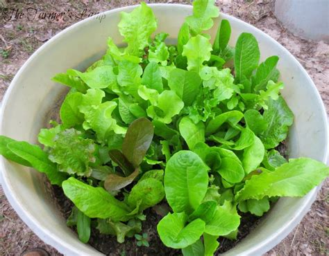 lettuce container garden your guide to growing lettuce in containers