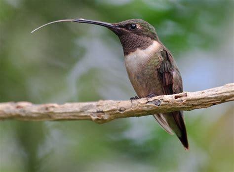 hummingbird tongue castellow hammock nature center