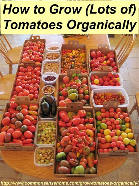 how to grow tomatoes organically 7 steps for success