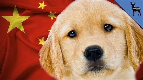 why are golden retrievers so why are golden retrievers banned in china