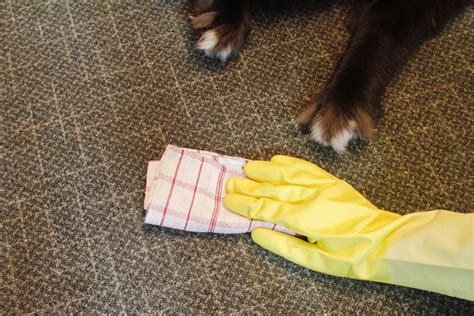 how to clean urine from carpet how to clean pet urine stains out of your carpet breeds picture