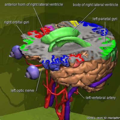 3d brain diagram voxel 3d navigator brain and skull