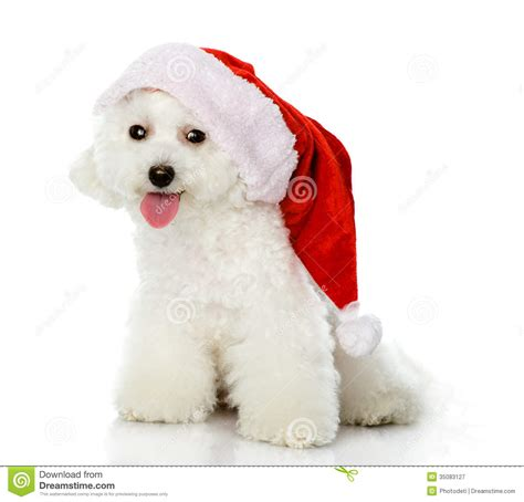 puppy with santa hat puppy in santa hat royalty free stock photography image