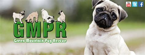 pug rescue vermont green mountain pug rescue
