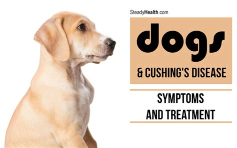 symptoms of s disease in dogs dogs and cushing s disease symptoms and treatment general center steadyhealth
