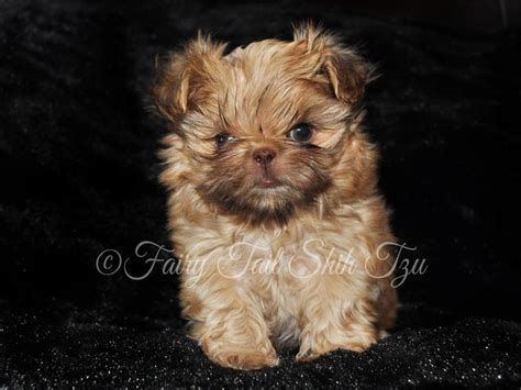 teacup shih tzu rescue 1000 images about shih tzu on puppies for sale