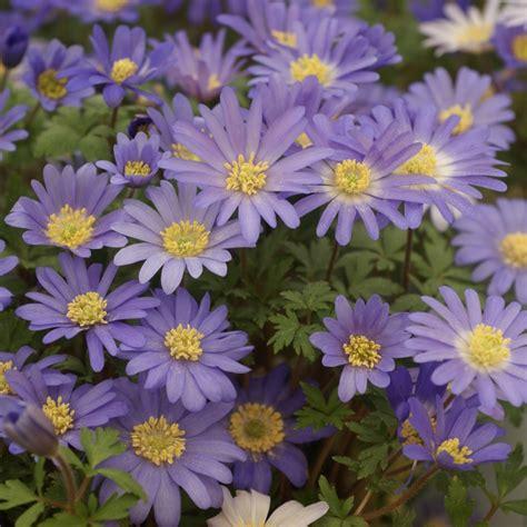 anemone blanda anemone blanda blue shades
