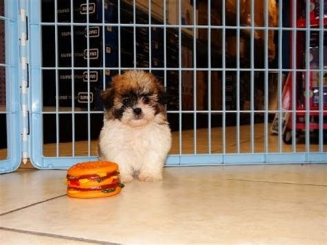 puppies for sale gulfport ms shih chon puppies for sale in gulfport mississippi ms greenville olive branch