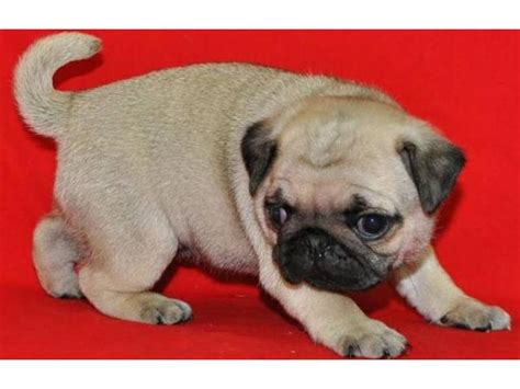 new york pug breeders pug puppies for re homming nyc new york city new york ads