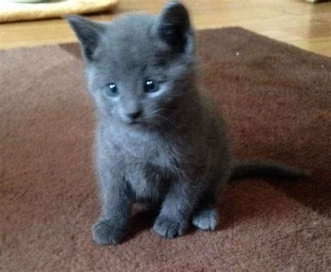 blue kittens for sale pedigree russian blue kitten for sale ardrossan