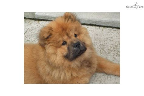chow chow puppies for sale in ohio chow chow pupppies chow chow puppy for sale near dayton