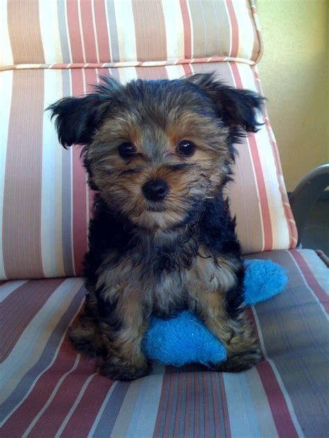 images morkies morkies images cute morkie hd wallpaper and background