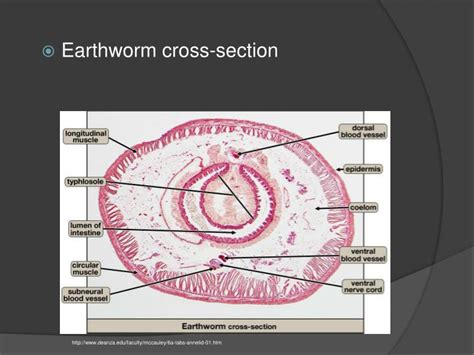 earthworm cross section ppt annelids molluscs powerpoint presentation id 2277286