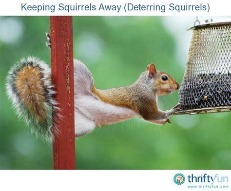 keeping squirrels away deterring squirrels gardens