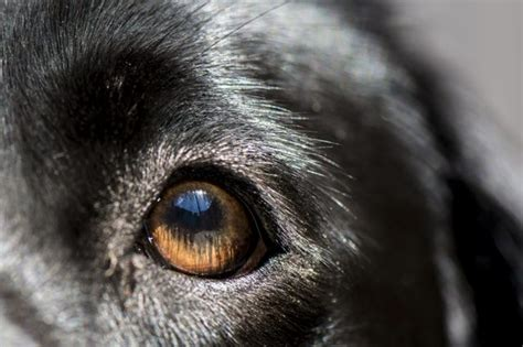 can dogs get pink eye from humans can get conjunctivitis from dogs cuteness