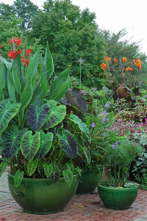 best 25 elephant plant ideas on pinterest elephant ear plant indoor elephant ear plant and