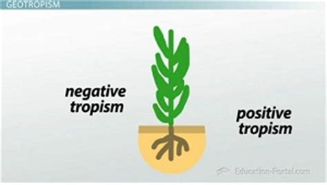 tropisms: phototropic, geotropic and thigmotropic plant