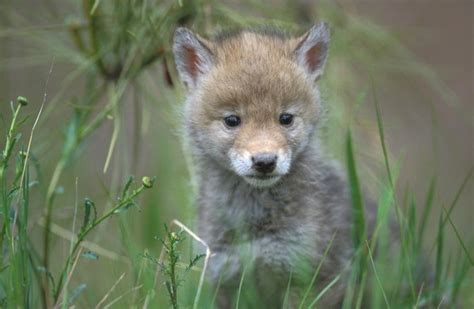 coyote puppy coyote canis latrans ground mammals