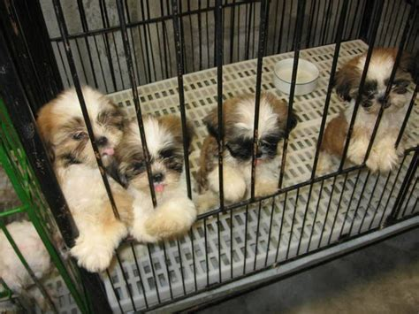 shih tzu forum philippines shih tzu puppy for sale adoption from manila metropolitan area valenzuela