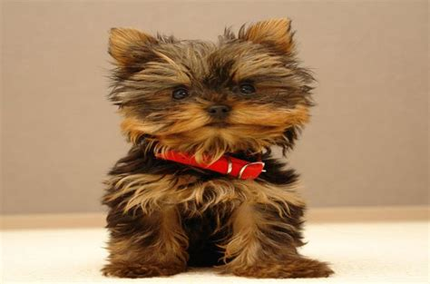 what of yorkies are there is there different types of terriers photo